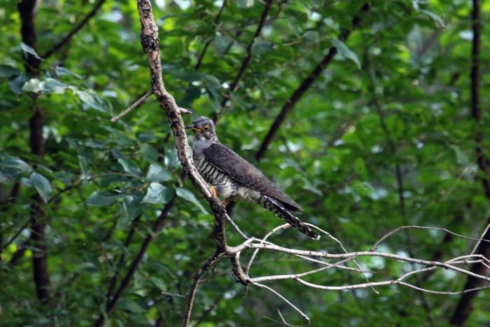 渡りの立ち寄りの鳥(ツツドリその2)_f0239515_1793178.jpg