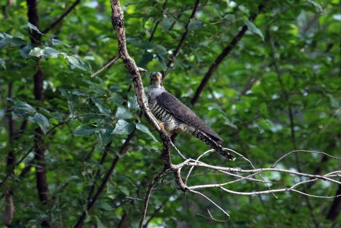 渡りの立ち寄りの鳥(ツツドリその2)_f0239515_1795455.jpg