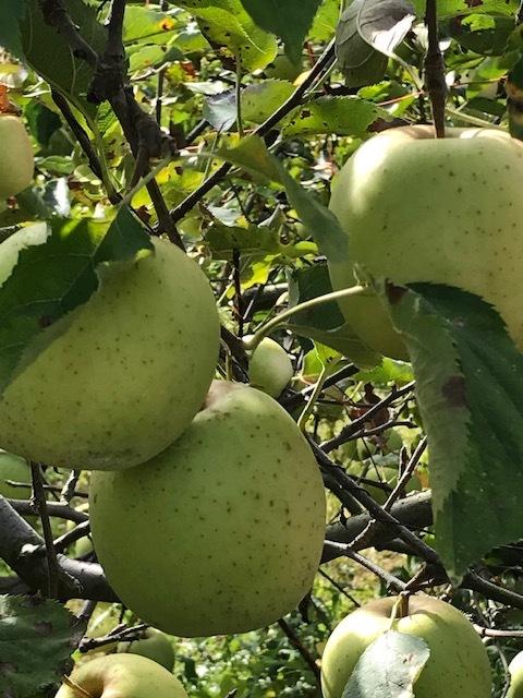 早くもりんご狩りへ_d0269832_19443398.jpeg
