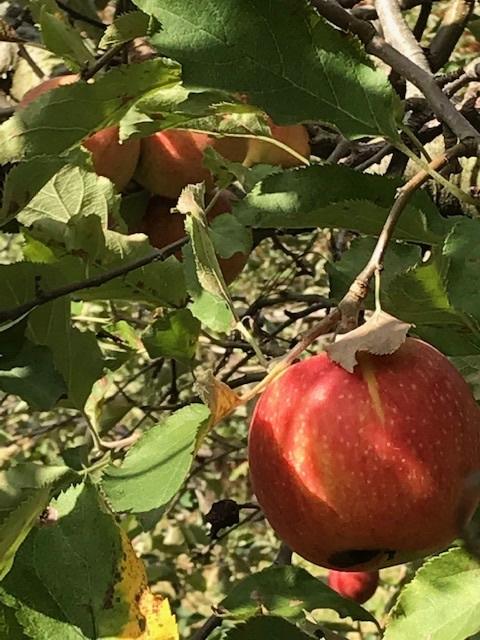 早くもりんご狩りへ_d0269832_19452349.jpeg