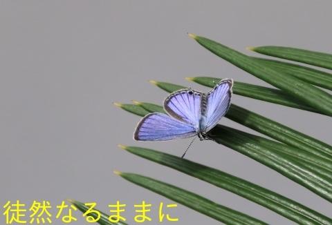クロマダラソテツシジミ  in  鹿児島_d0285540_05400297.jpg