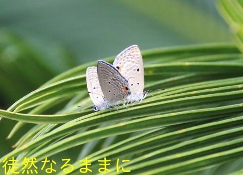 クロマダラソテツシジミ  in  鹿児島_d0285540_05405293.jpg