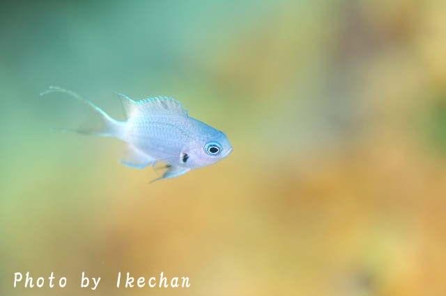 「また今度」を乗り越えて     ~シコクスズメダイ幼魚~_a0155467_19435871.jpg