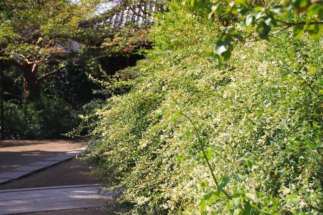 鎌倉の秋の花 宝戒寺の萩_f0374092_17022375.jpg