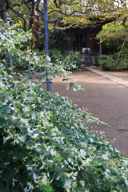 鎌倉の秋の花 宝戒寺の萩_f0374092_17030941.jpg