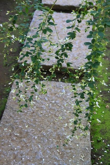 鎌倉の秋の花 宝戒寺の萩_f0374092_17032263.jpg