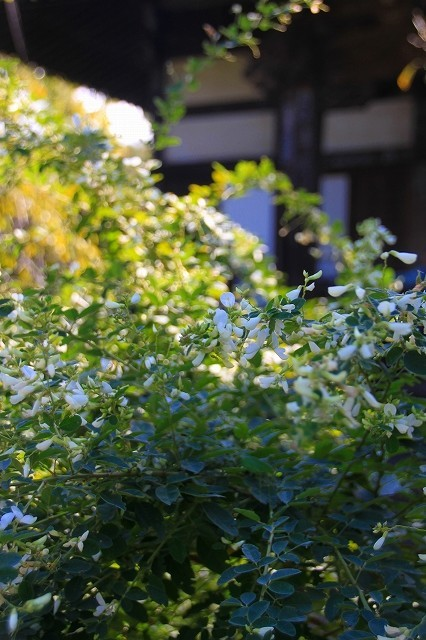 鎌倉の秋の花 宝戒寺の萩_f0374092_17070444.jpg