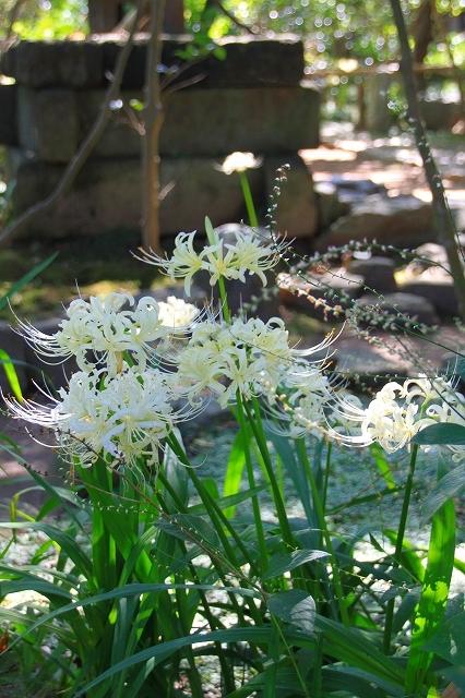 鎌倉の秋の花 宝戒寺の萩_f0374092_17093419.jpg