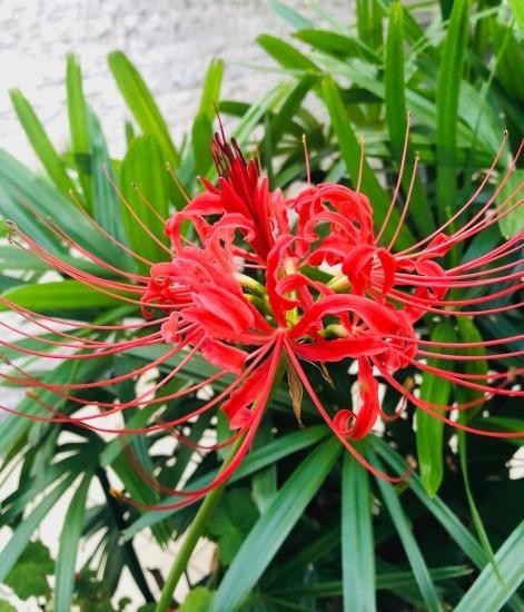 曼珠沙華の花も咲いたよ_e0303005_03583400.jpg