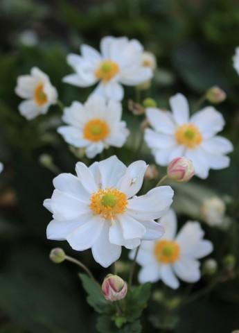 八重咲アナベル返り咲き&やってもーた_e0341606_19303947.jpg