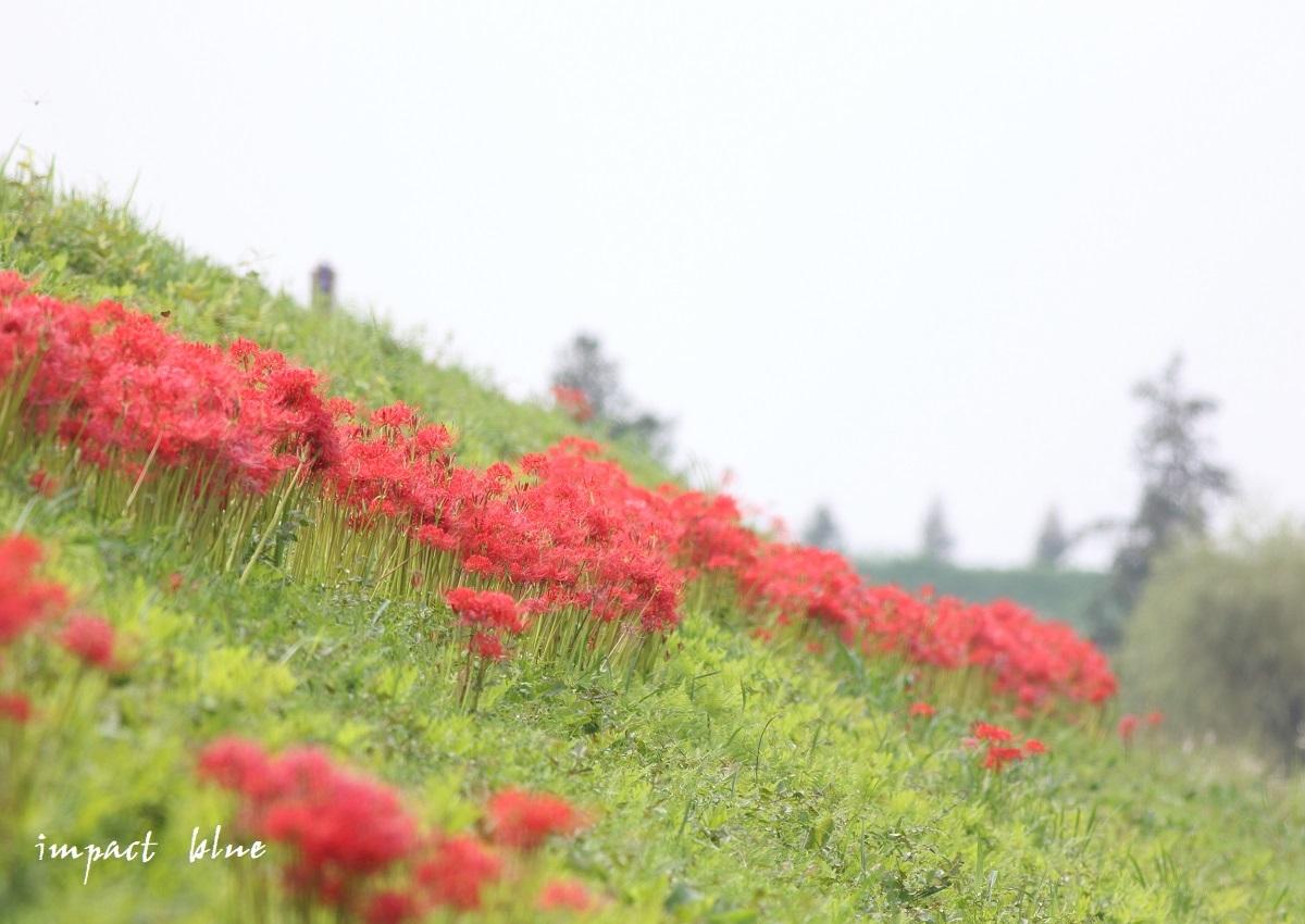 近くの田んぼで彼岸花(^^)/ ~続~_a0355908_15320736.jpg