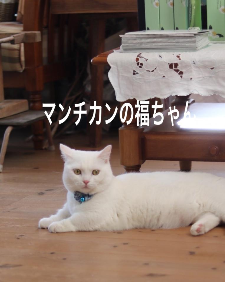 にゃんこ劇場「看板にゃんこ福ちゃん」_c0366722_04411509.jpeg