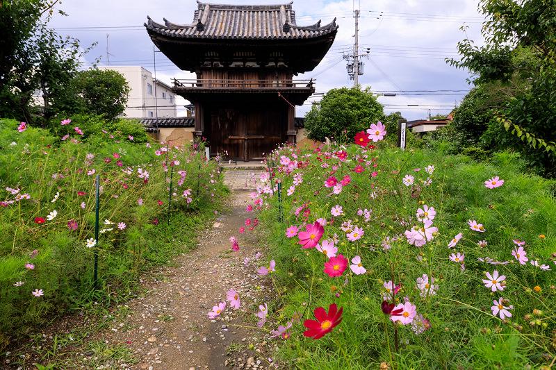 夏咲コスモスと紫陽花(般若寺)_f0155048_12234565.jpg