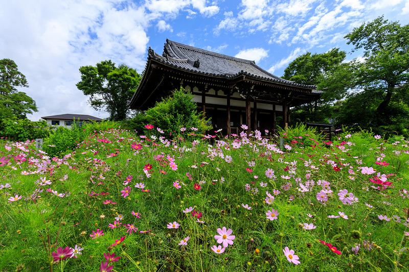 夏咲コスモスと紫陽花(般若寺)_f0155048_1223926.jpg