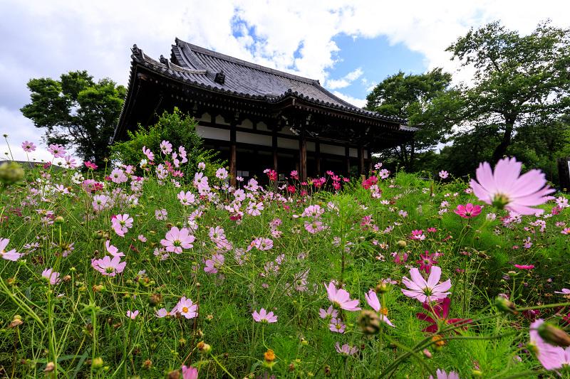 夏咲コスモスと紫陽花(般若寺)_f0155048_12242175.jpg