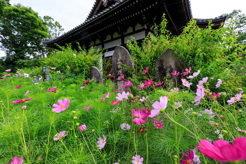 夏咲コスモスと紫陽花(般若寺)_f0155048_12243188.jpg
