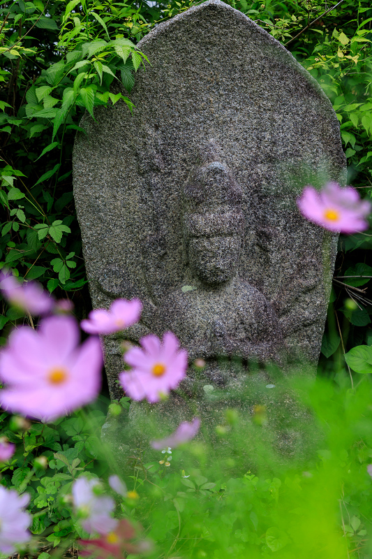 夏咲コスモスと紫陽花(般若寺)_f0155048_12243735.jpg