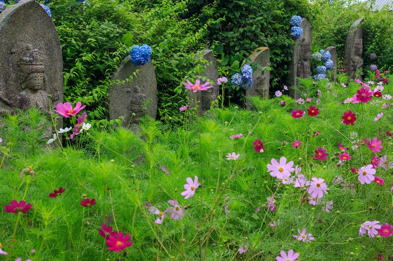 夏咲コスモスと紫陽花(般若寺)_f0155048_12244187.jpg