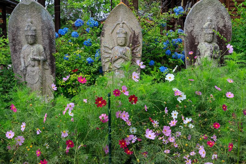 夏咲コスモスと紫陽花(般若寺)_f0155048_1224485.jpg