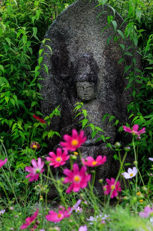 夏咲コスモスと紫陽花(般若寺)_f0155048_12251463.jpg