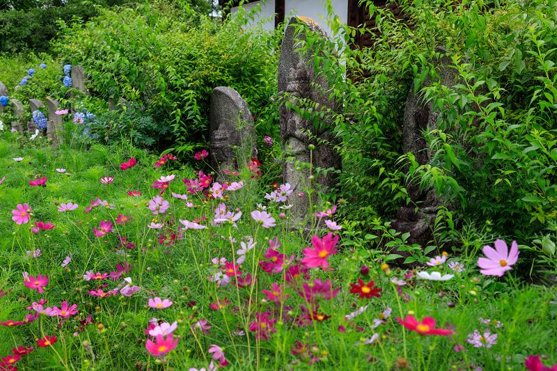 夏咲コスモスと紫陽花(般若寺)_f0155048_12252214.jpg