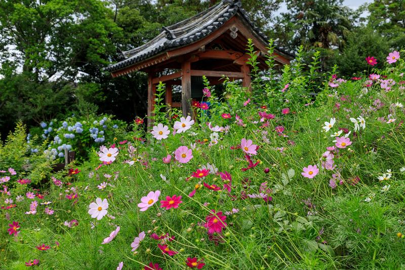 夏咲コスモスと紫陽花(般若寺)_f0155048_12252696.jpg