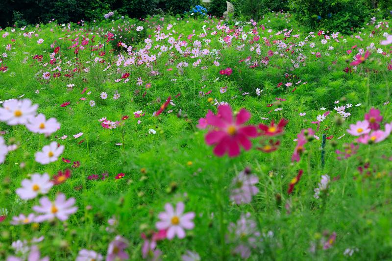 夏咲コスモスと紫陽花(般若寺)_f0155048_12261958.jpg