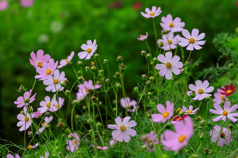 夏咲コスモスと紫陽花(般若寺)_f0155048_12263398.jpg