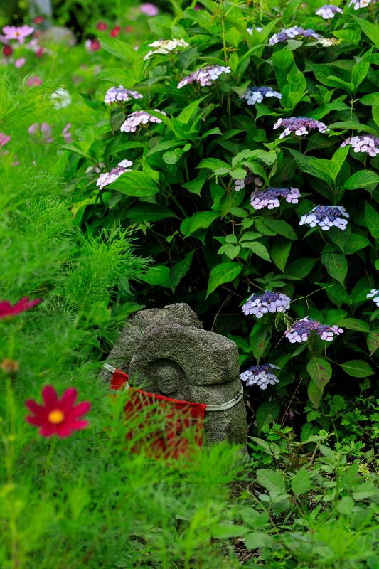 夏咲コスモスと紫陽花(般若寺)_f0155048_12271210.jpg