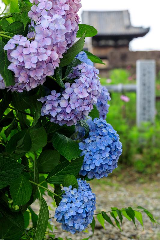 夏咲コスモスと紫陽花(般若寺)_f0155048_12281876.jpg