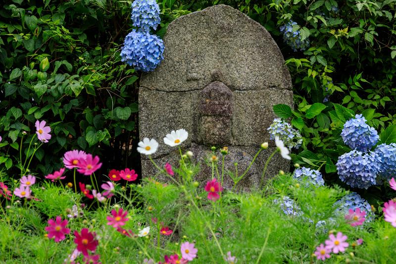 夏咲コスモスと紫陽花(般若寺)_f0155048_12285979.jpg