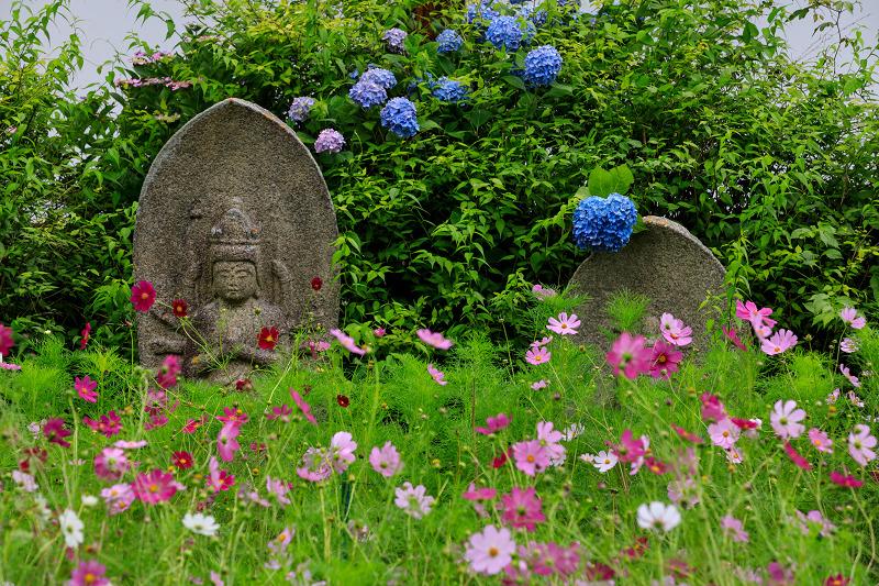 夏咲コスモスと紫陽花(般若寺)_f0155048_12293028.jpg