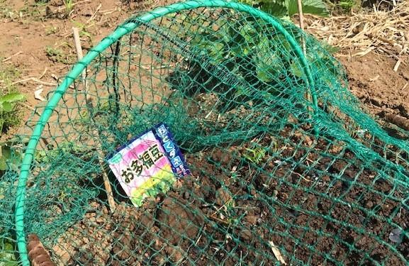 """空豆種蒔き、大根に軟腐病、小松菜の""""首飛ぶ""""10・1_c0014967_18114896.jpg"""
