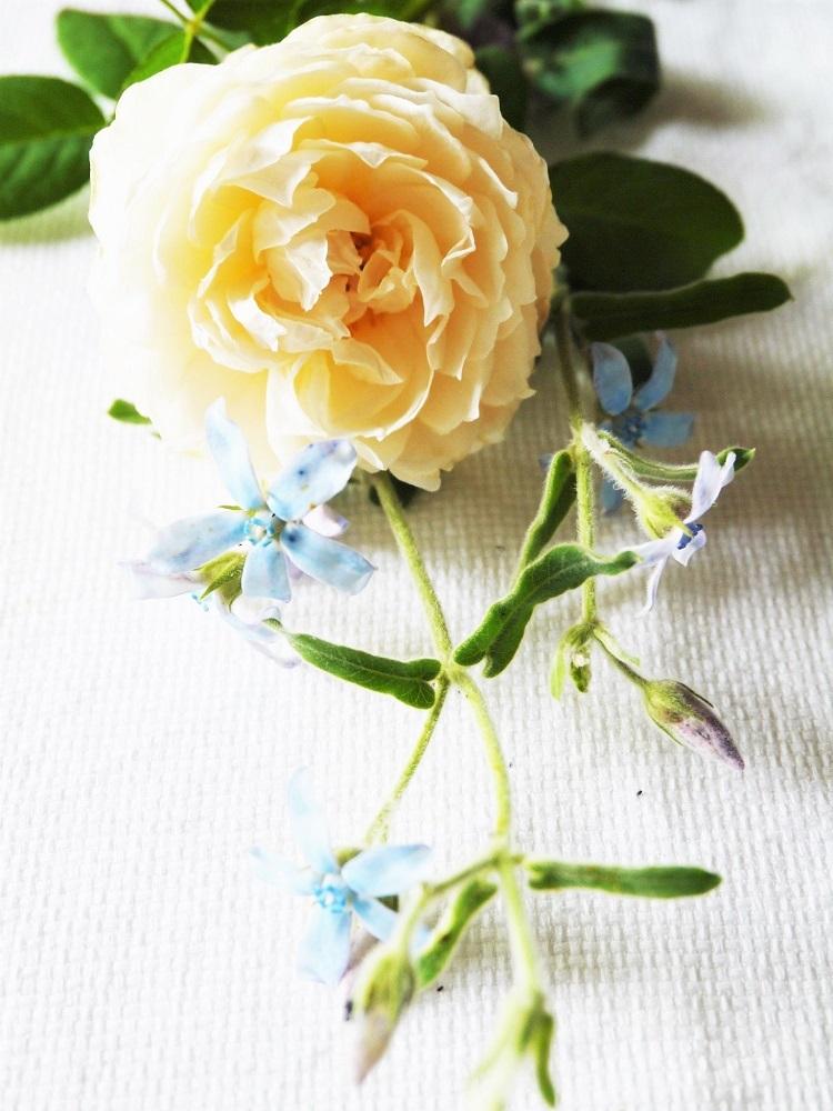 レフア蜂蜜と白いイングリッシュローズ_a0147281_16584378.jpg