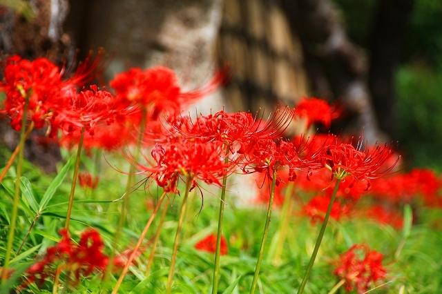 鎌倉の秋の花 鶴岡八幡宮 彼岸花_f0374092_21042269.jpg