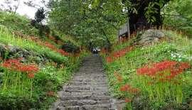 彼岸花の名所が7年ぶり復活 奈良・宇陀の佛隆寺 _b0064113_1024736.jpg