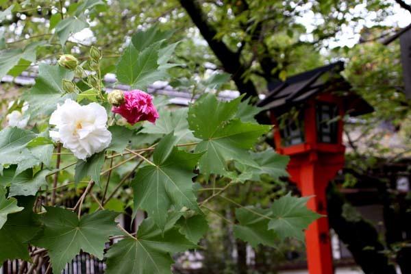 平野神社 ムラサキシキブなど_e0048413_20584816.jpg