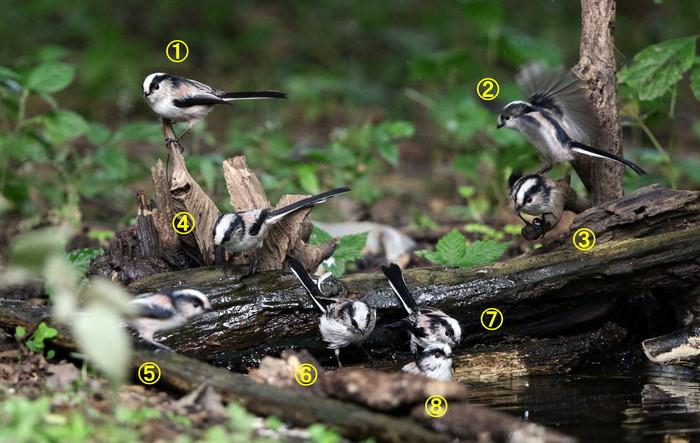 MFの森でエナガの群れが水場に集まった_f0239515_16165383.jpg