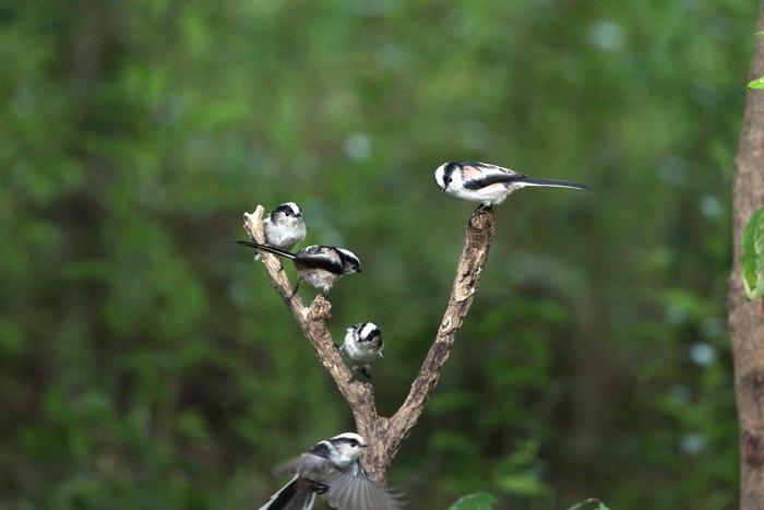 MFの森でエナガの群れが水場に集まった_f0239515_1618039.jpg