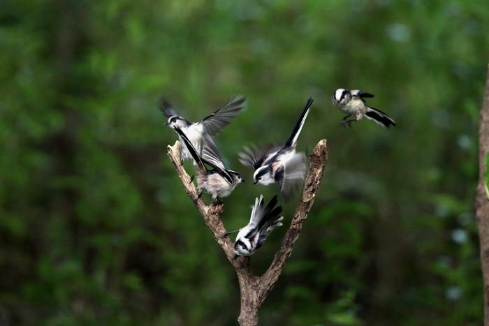 MFの森でエナガの群れが水場に集まった_f0239515_16182486.jpg