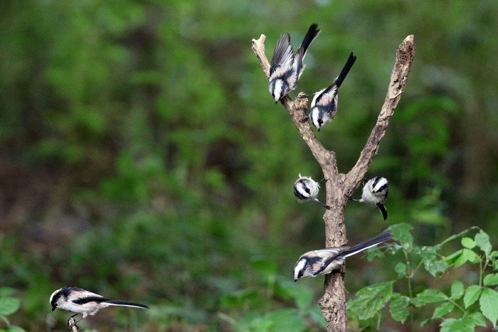 MFの森でエナガの群れが水場に集まった_f0239515_16193346.jpg