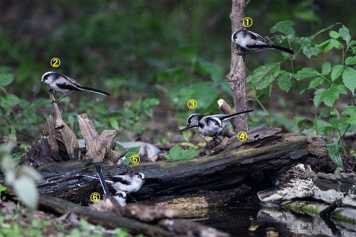 MFの森でエナガの群れが水場に集まった_f0239515_16201222.jpg