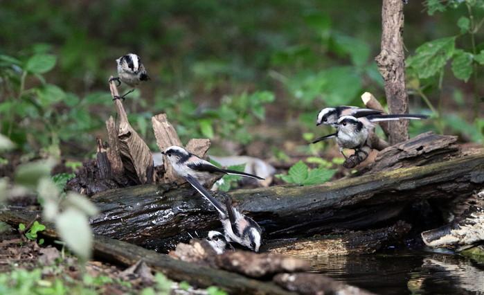 MFの森でエナガの群れが水場に集まった_f0239515_16203618.jpg
