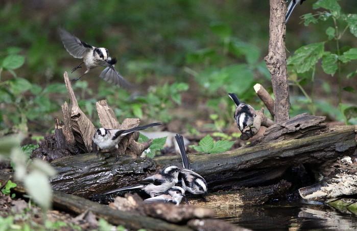 MFの森でエナガの群れが水場に集まった_f0239515_16211286.jpg