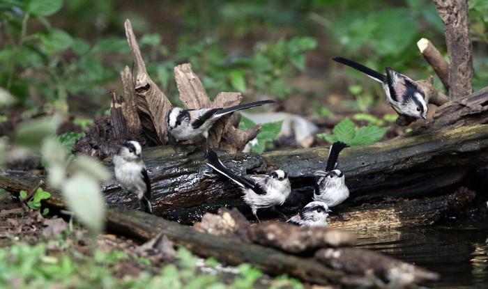 MFの森でエナガの群れが水場に集まった_f0239515_16213115.jpg