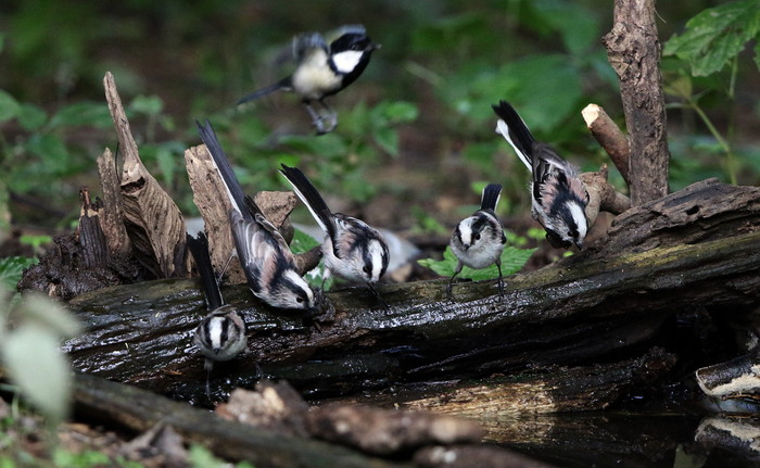 MFの森でエナガの群れが水場に集まった_f0239515_16223281.jpg