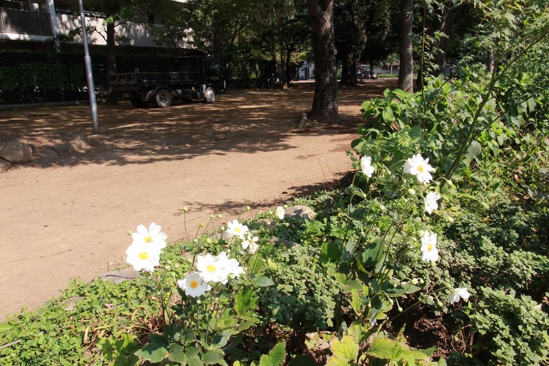 白花のシュウメイギク ~福岡中央公園~_a0107574_18005937.jpg
