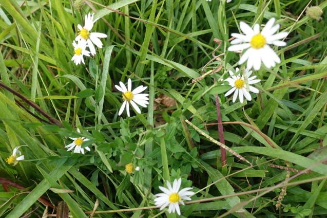 足元の小さな花はユウガギクという名前でした_e0232277_11013053.jpg