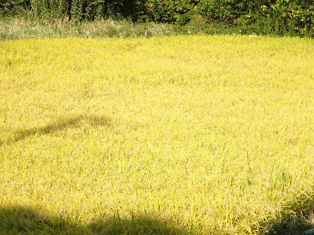 金色に輝く田んぼの景色。_f0105112_18124858.jpg