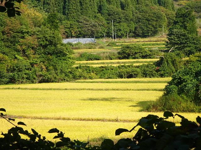 金色に輝く田んぼの景色。_f0105112_18124886.jpg